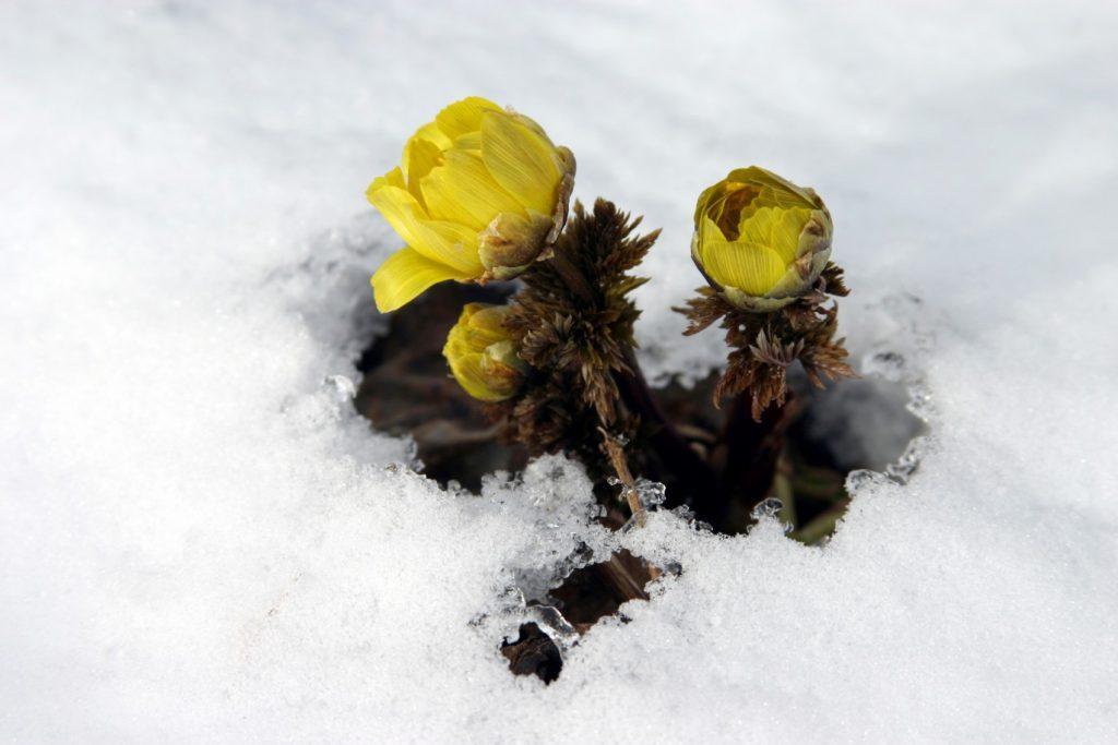 雪解けに咲くフクジュソウ