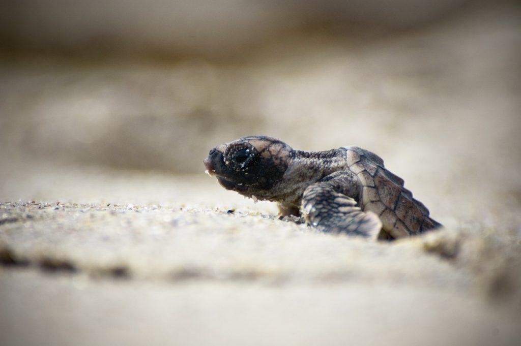 砂浜から這い出す生まれたての子亀