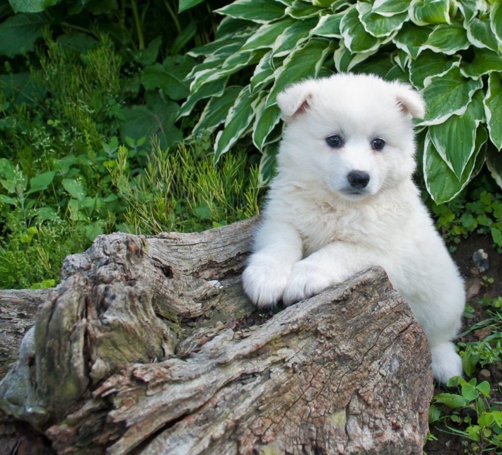 つぶらな瞳で見つめる白い子犬