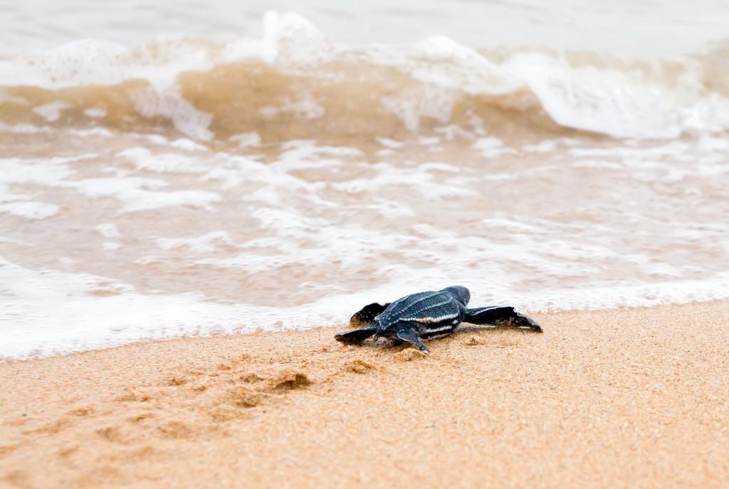 砂浜から海に入りかけている子亀