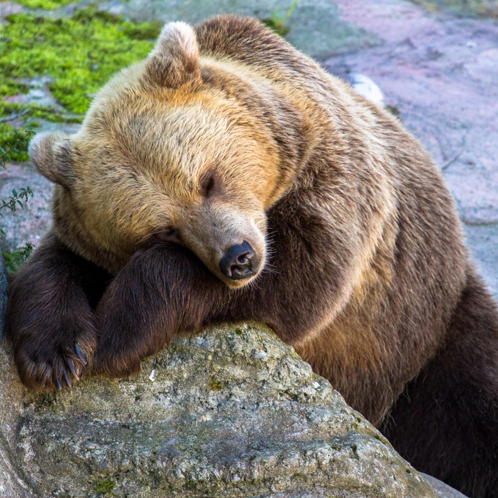 深い眠りの中にいる熊