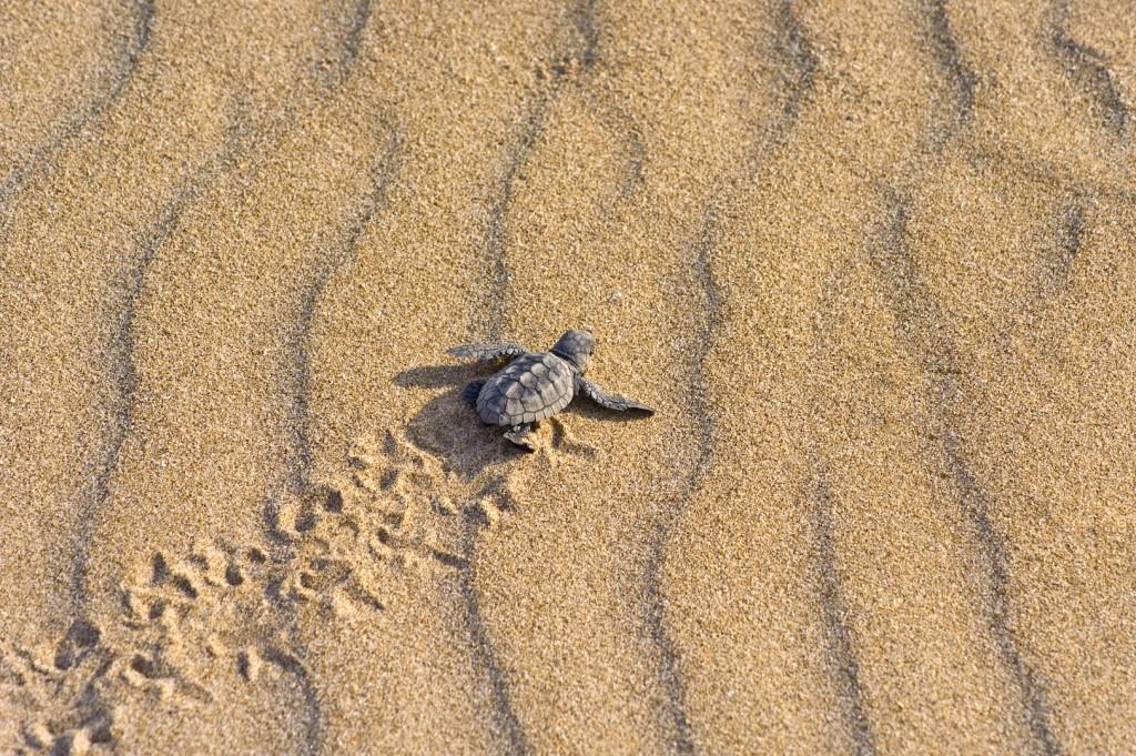 砂浜に足あとを付けて歩く子亀