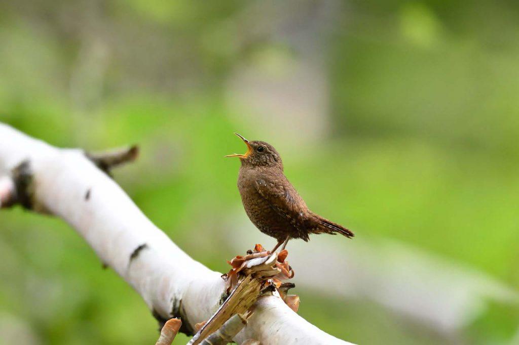 鳥のさえずりがもつ不思議な癒しのチカラ
